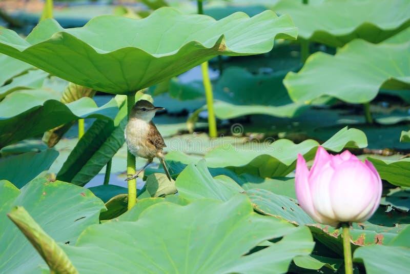 鸟和莲花 免版税库存照片