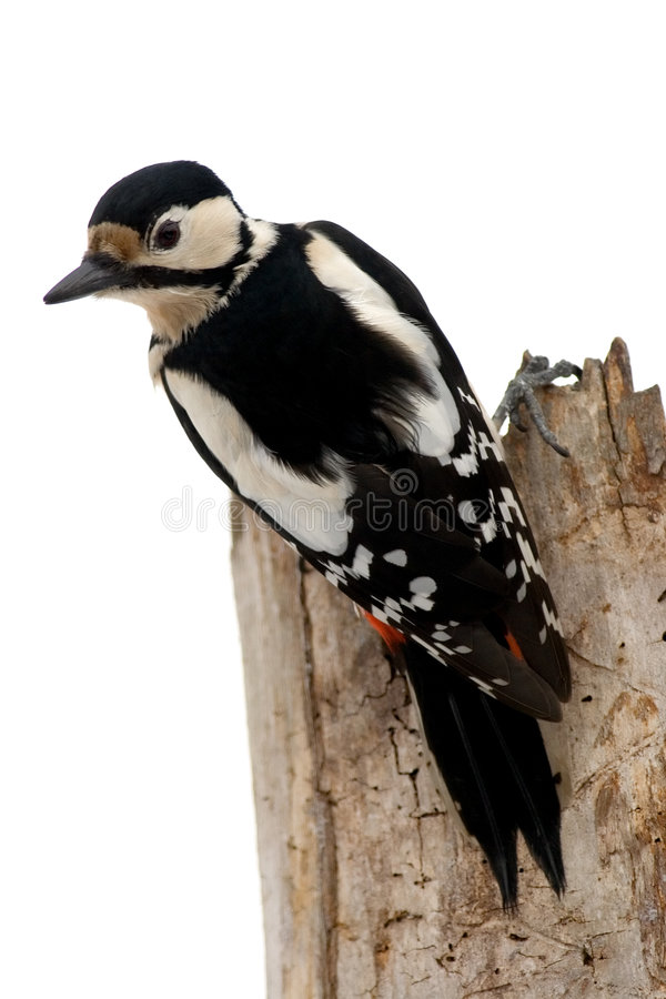 鸟啄木鸟 库存图片