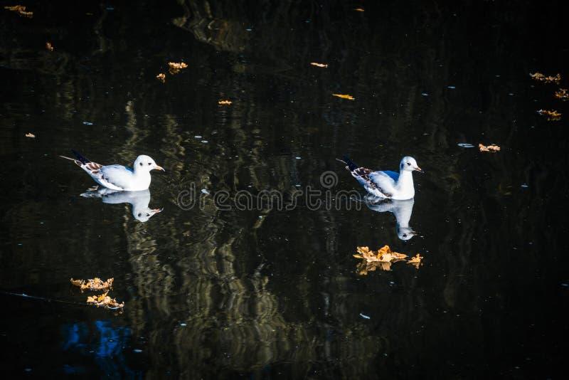 鸟在一条小河的夫妇游泳在秋天 库存照片