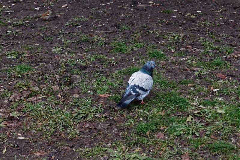 鸟在公园潜水-美丽的鸽子坐草 免版税库存图片