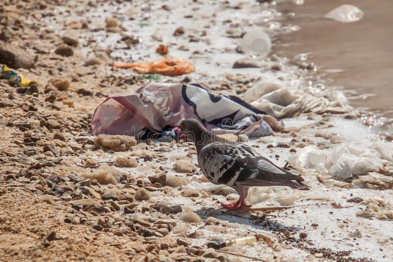 鸟在垃圾的海滩走 说谎在死海的岸的垃圾 生态学问题 免版税库存照片