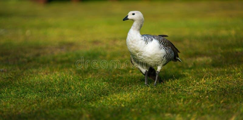 鸟在托里斯del潘恩国家公园 在巴塔哥尼亚,智利边的秋天 免版税库存图片