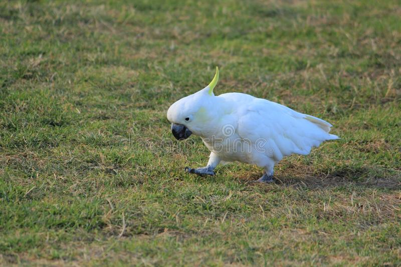 鸟在澳大利亚 库存照片
