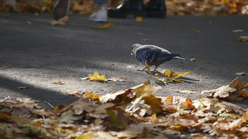 鸟在秋天公园,在下落的秋天黄色附近的鸽子离开 库存图片