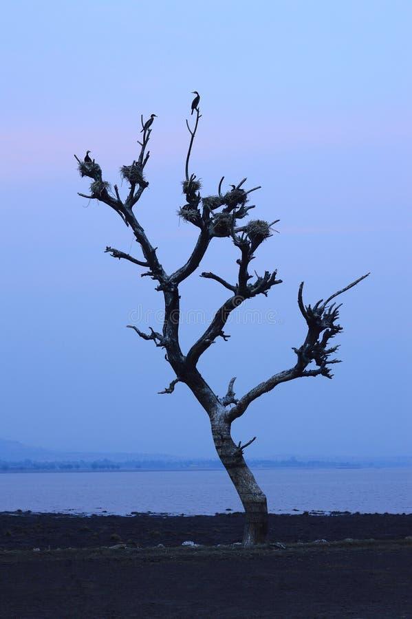 鸟在近一棵死的树筑巢改变方向水坝,马哈拉施特拉 免版税库存照片
