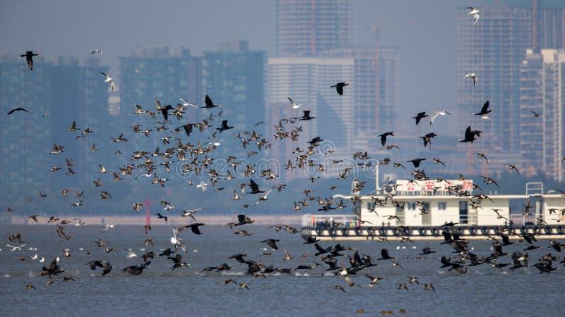 鸟在飞行中在香港边界有城市背景图片
