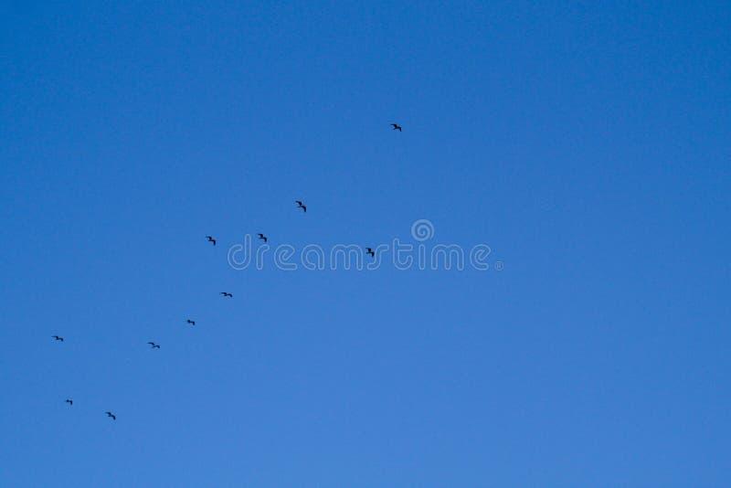 鸟大群在蓝色春天天空飞行高 库存图片