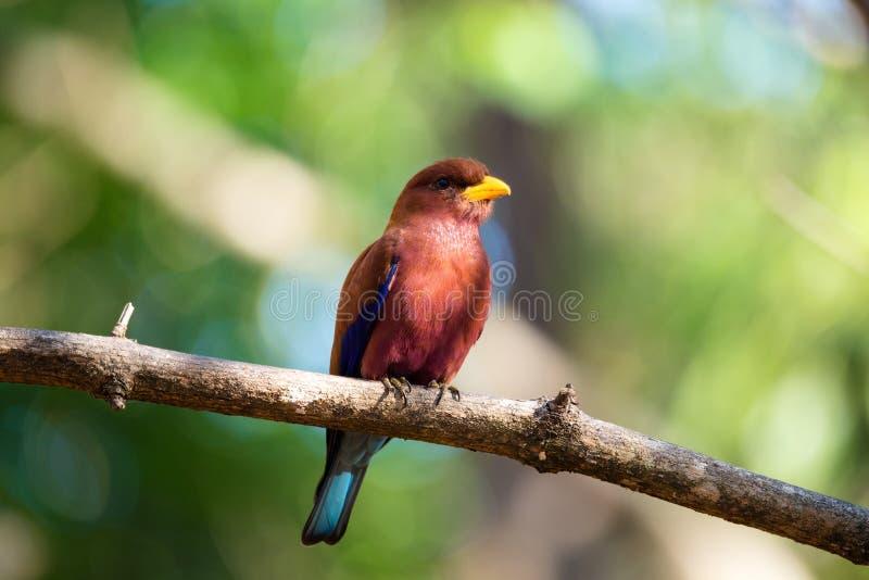 鸟宽喙的路辗Eurystomus glaucurus马达加斯加 免版税库存图片
