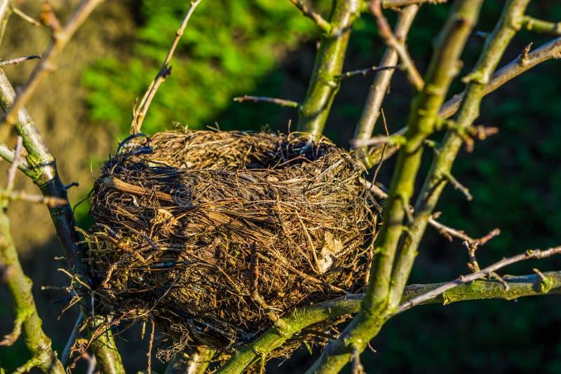 鸟巢的特写镜头在树的,助长季节的鸟在春天,空的鸟家期间 免版税库存图片