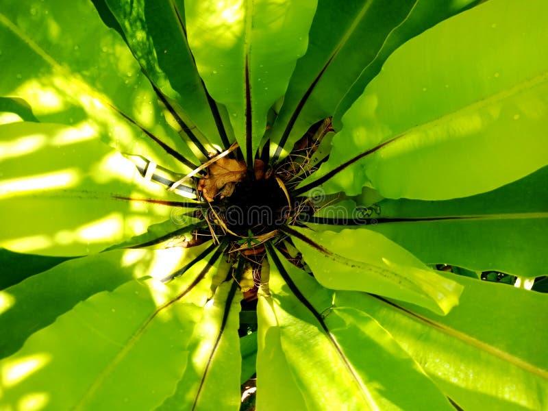 鸟巢蕨传播的叶子的中心 免版税库存图片