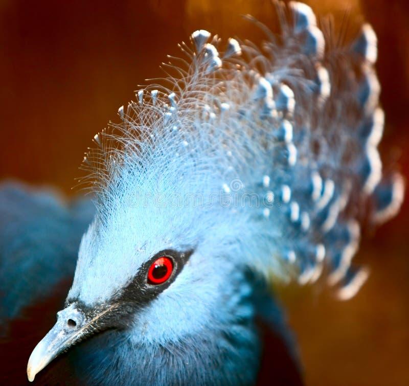 鸟异乎寻常的goura维多利亚 免版税库存照片