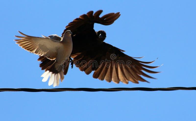 鸟战斗 库存照片