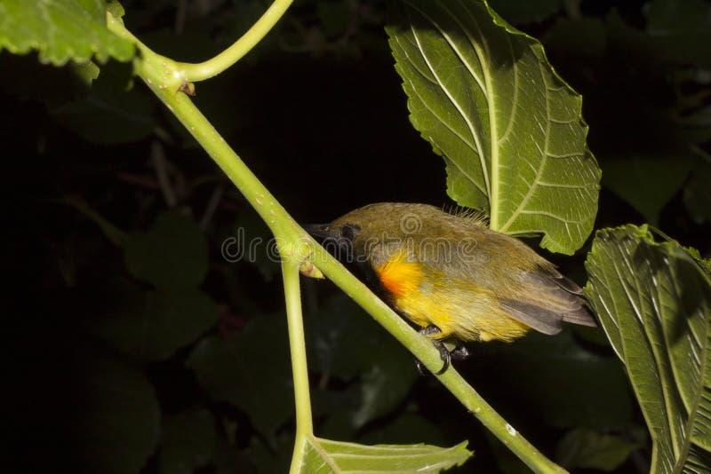 鸟支持橄榄的sunbird睡眠. 晚上, 五颜六色.