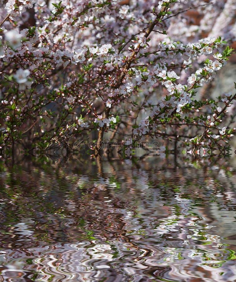 鸟樱桃树开花反对与水反射,自然花卉背景的蓝天 库存图片