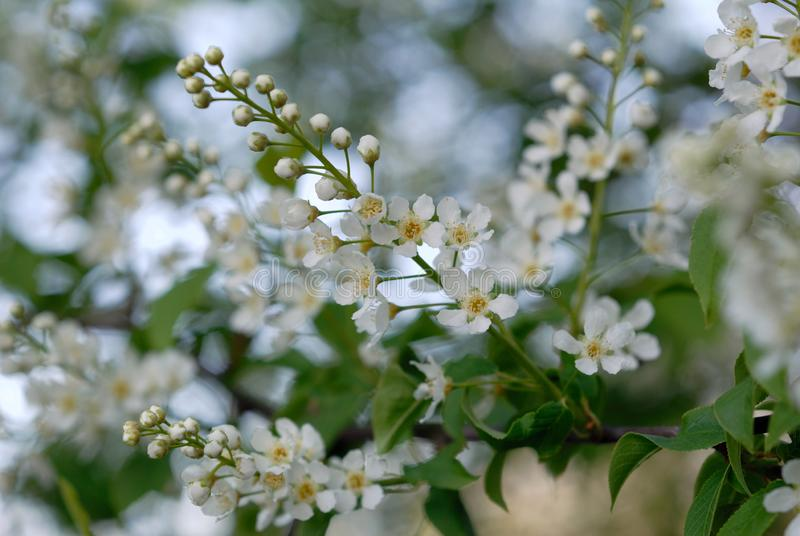 鸟樱桃树绽放在春天 库存照片
