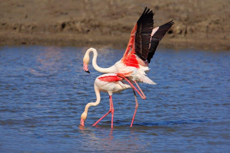 鸟爱在水中 对火鸟 两动物联接,走在湖 桃红色大鸟更加伟大的火鸟, Phoenicopterus ruber, i 库存照片