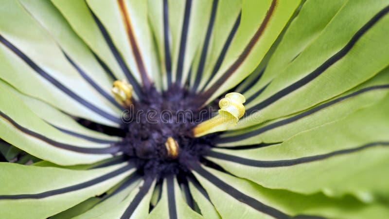 鸟的巢蕨 美好的圈子Bird';s巢蕨离开接近  免版税库存图片