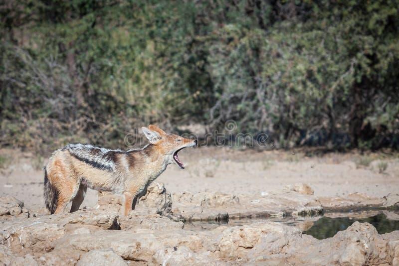 鸟的支持黑的狐狼狩猎 免版税库存照片