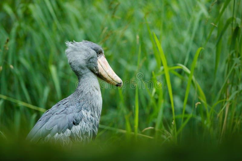 鸟的监视人在非洲 Shoebill,广嘴鹳属rex,大额嘴鸟,乌干达画象  细节从中非的野生生物场面 r 免版税库存图片