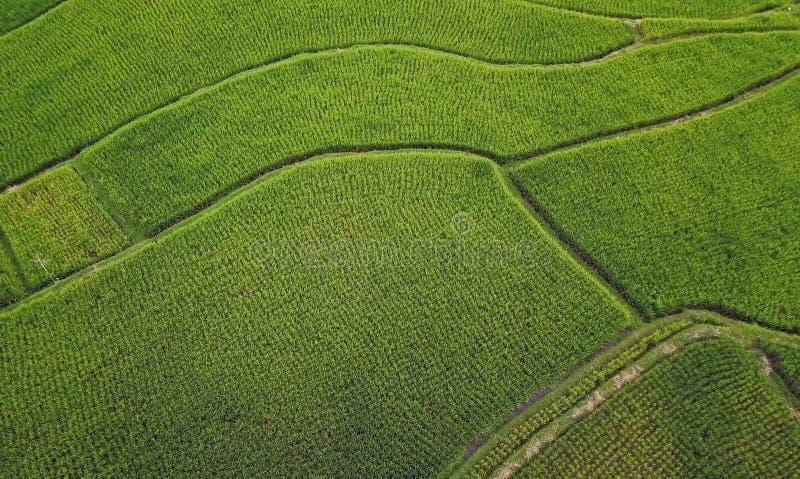 鸟瞰图射击了与绿色有机米领域亚洲人Ubud农村风景寄生虫在巴厘岛海岛在farmi的印度尼西亚 免版税库存照片