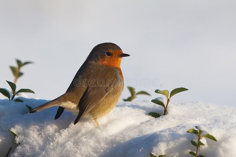 鸟知更鸟 库存照片