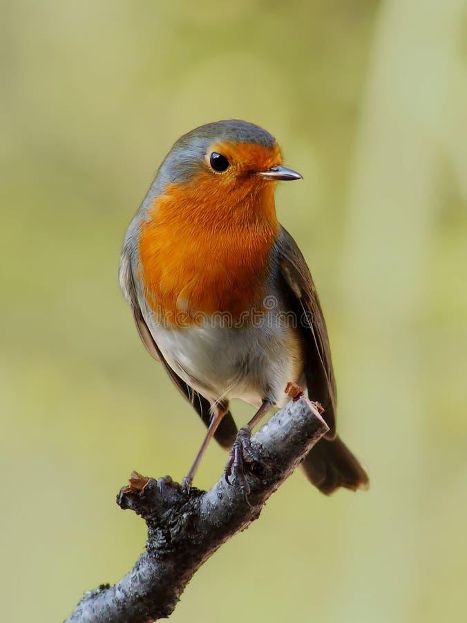 鸟知更鸟 库存图片