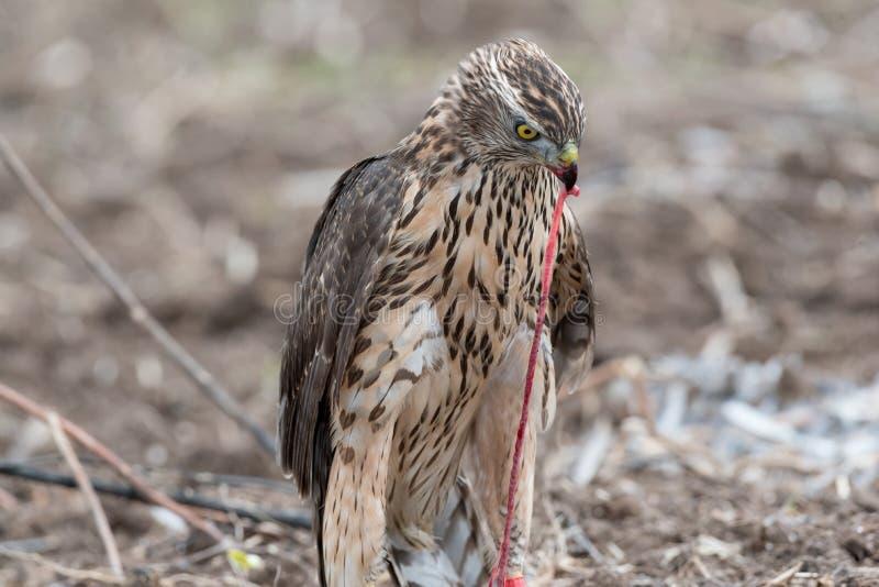 鸟祈祷吃蚊子的猎鹰.56鸽子图片