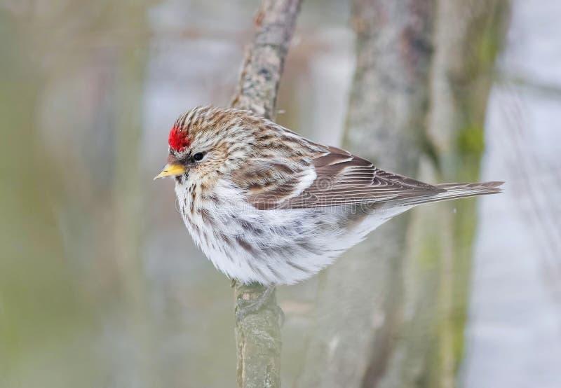 鸟红弱鸟在公园坐分支 免版税图库摄影