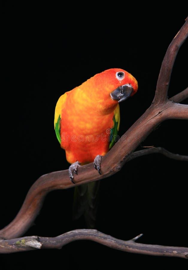 鸟绿色橙黄色 免版税库存图片