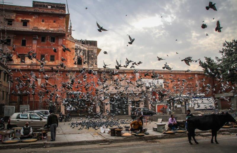 鸟群在斋浦尔,拉贾斯坦,印度街道的  免版税图库摄影