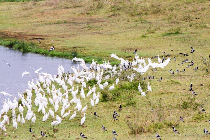 鸟群在Ngorongoro火山口,塞伦盖蒂的 免版税库存照片