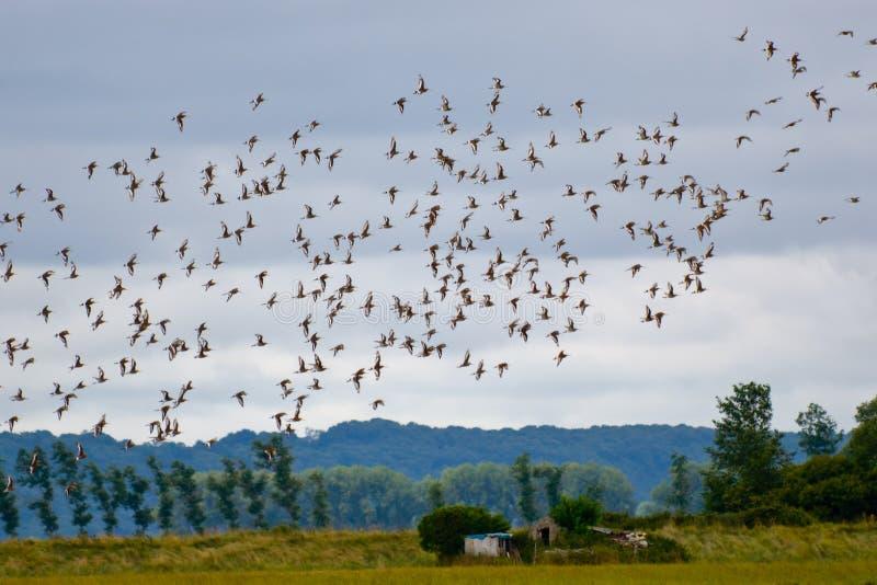 鸟群飞行 免版税库存照片