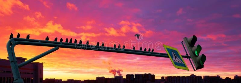 鸟群黑剪影坐在剧烈的都市日落背景的绿色路灯到底  图库摄影
