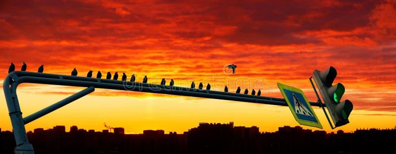 鸟群黑剪影坐在剧烈的都市日落背景的绿色路灯到底  免版税库存照片