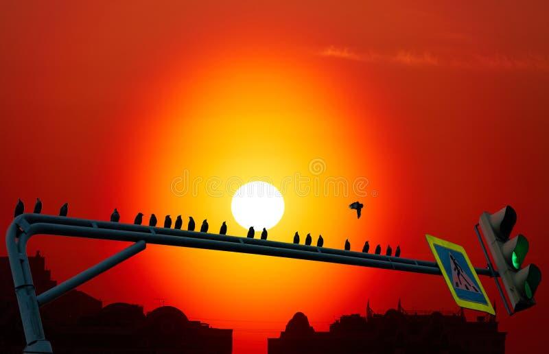 鸟群黑剪影坐在剧烈的都市日落背景的绿色路灯到底  免版税库存图片