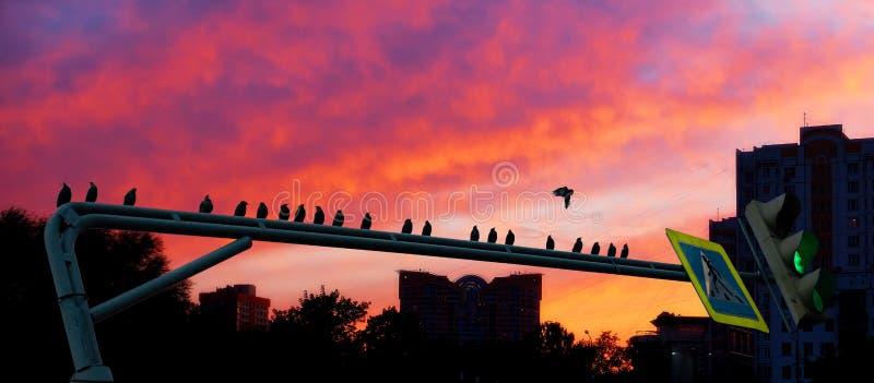 鸟群黑剪影坐在剧烈的都市日落背景的绿色路灯到底  免版税图库摄影