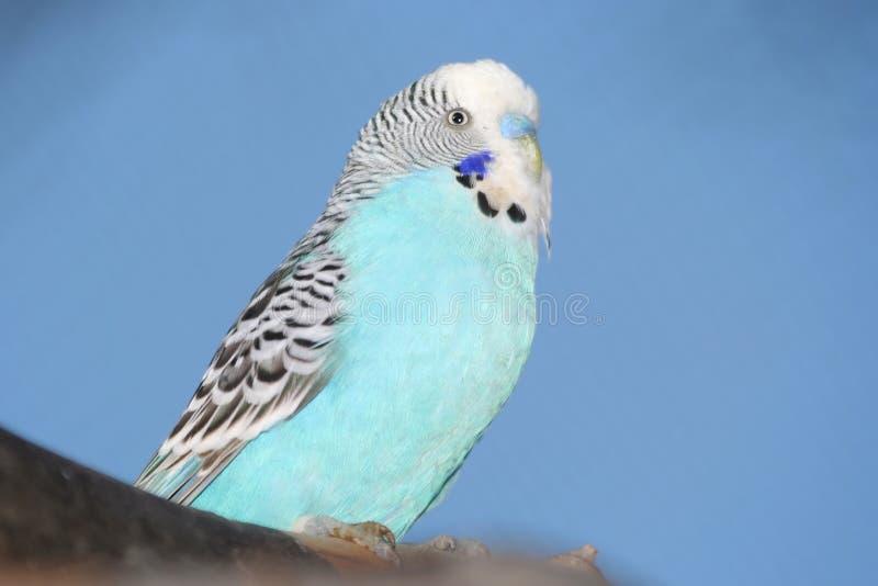 鸟蓝色budgie纵向 免版税库存照片