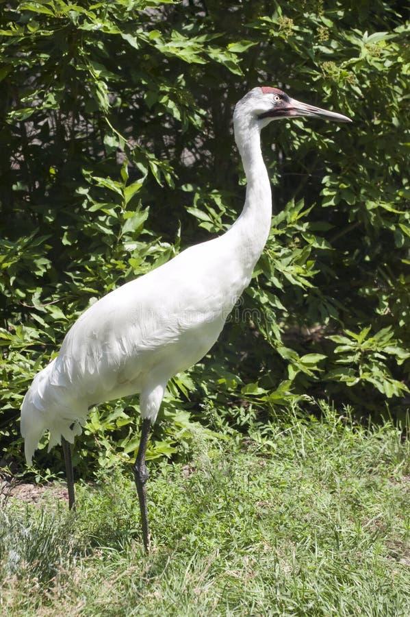 鸟起重机危险种类水鸟高声呼喊 免版税库存照片