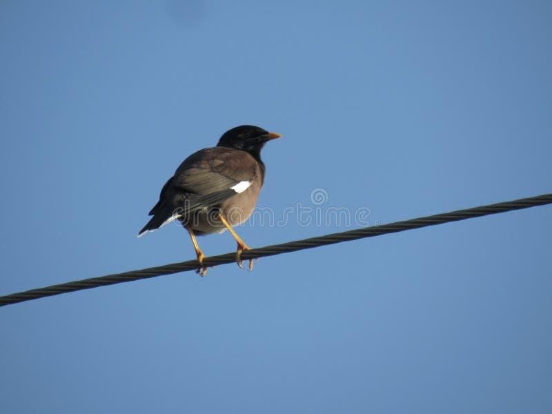 鸟迈索尔 库存照片