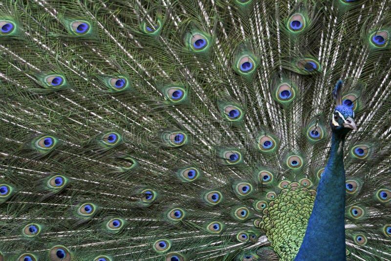 鸟逗人喜爱的孔雀 免版税库存图片