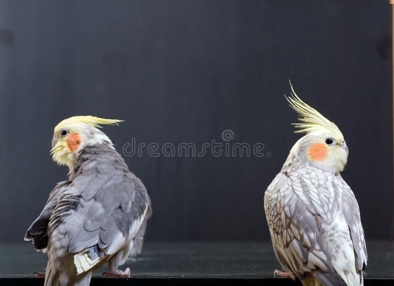 鸟配对少见 免版税库存照片
