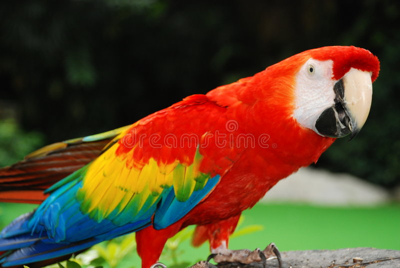 鸟金刚鹦鹉纵向红色 库存图片