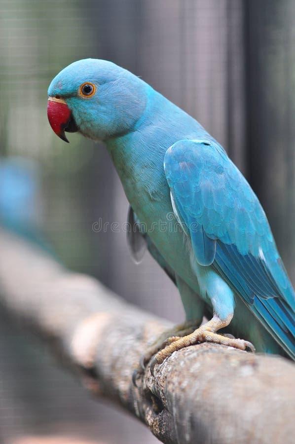 鸟长的长尾小鹦鹉盯梢了 免版税库存图片