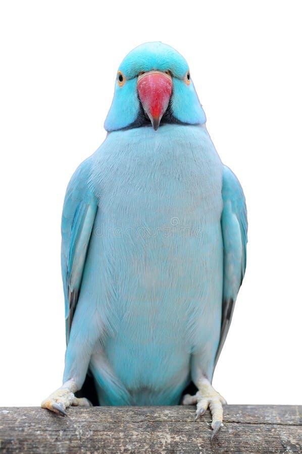 鸟长的长尾小鹦鹉盯梢了 库存照片