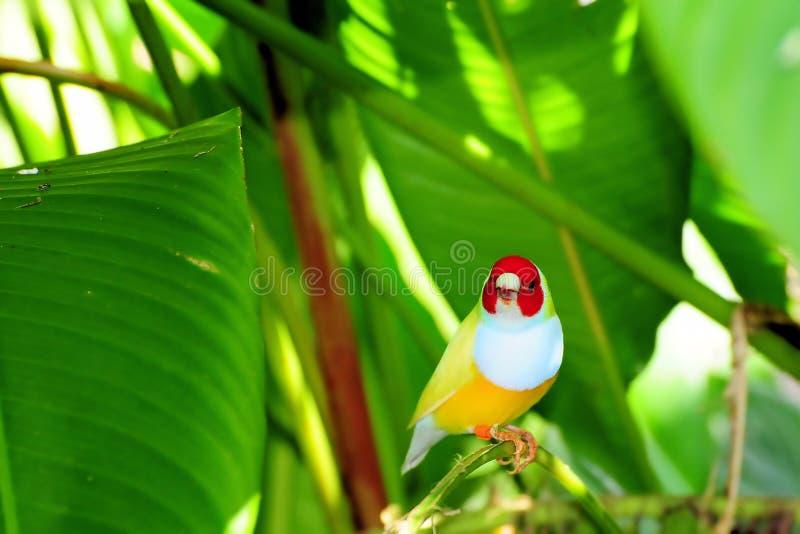 鸟雀科gouldian夫人 库存照片