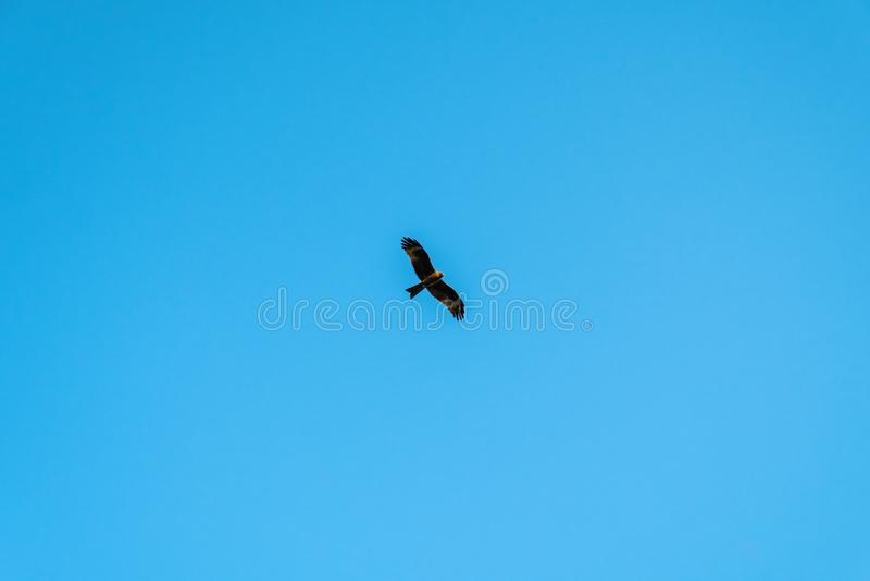 鸟风筝在蓝色清楚的天空腾飞 好战飞行在与它的被伸出的翼的地球 库存照片