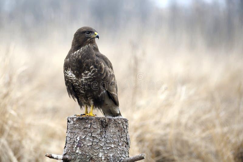 鸟鵟鸟鵟鸟 图库摄影
