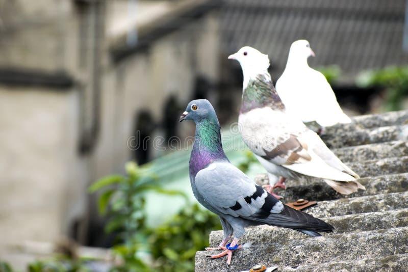 鸟鸽子坐的站立在屋顶青绿酒吧竟赛者回家 免版税库存照片