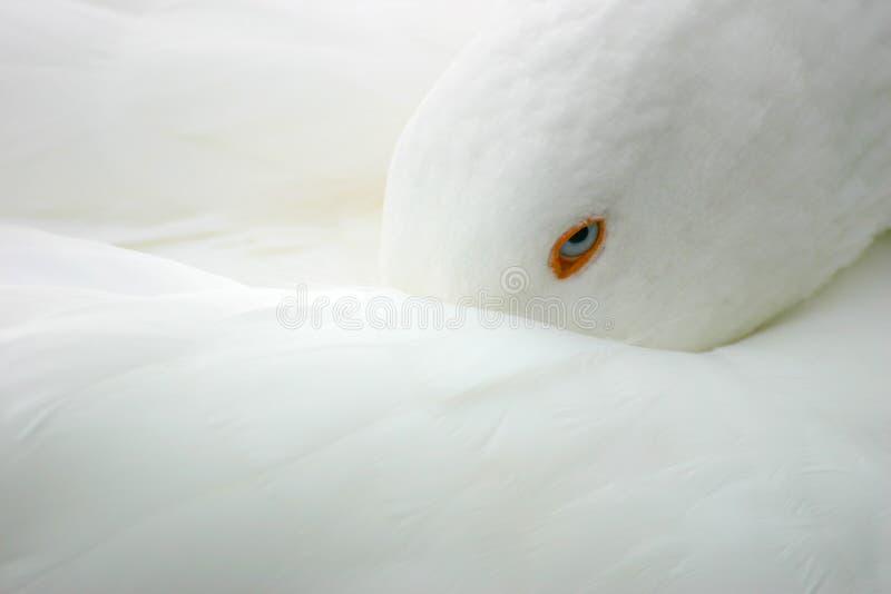 鸟鹅白色 库存图片