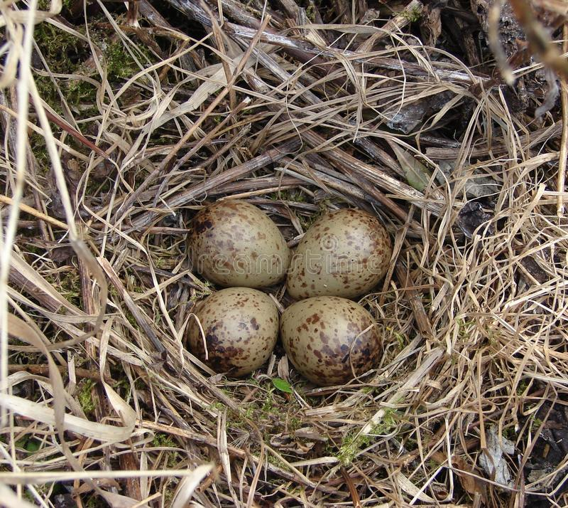 鸟鹬的巢和鸡蛋 免版税库存照片